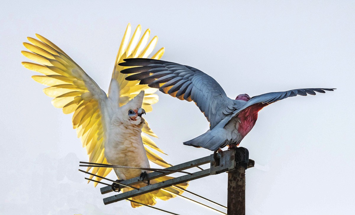 """Galahs and White Cockatoos are bold and silly. You don't have to wait long for something to happen. When to press shutter? I just try to """"pick the moment"""" one shot at the time, others """"rapid fire"""". Setting 1/3200sec, ISO 800. F5.6 and 600mm lens. (Tony)"""