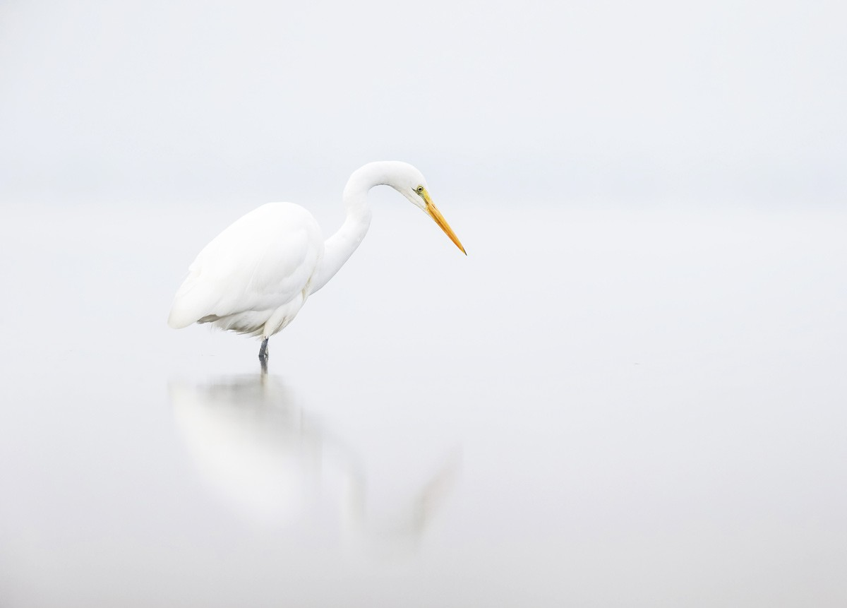 Ethereal Mandurah, A misty morning and still waters on the estuary. The Great Egret was one of the few birds looking for an early catch. Camera: Canon EOS-1D X; Lens: EF 500mm F/4L IS USM + 1.4x Canon teleconverter; Shutter speed: 1/1600, F-stop 7.1; ISO 1250; Handheld (Georgina)